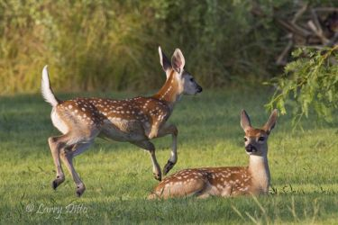 White-tailed_Deer_Larry_Ditto_MG_5488