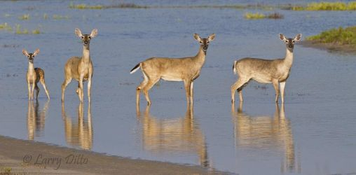 White-tailed Deer, fawn and does crossing a shallow pond