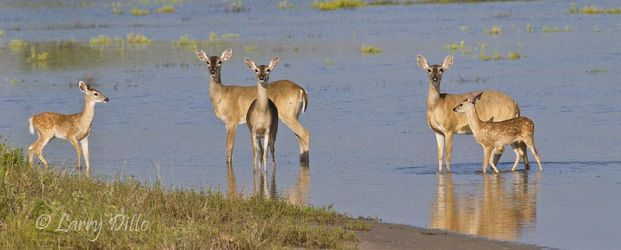 White-tailed Deer, does and fawns wading in pond