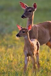 White-tailed_Deer_Larry_Ditto_MG_6496