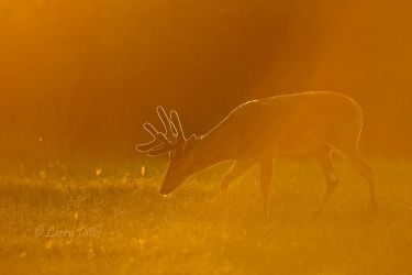 White-tailed_Deer_Larry_Ditto_MG_6562