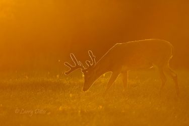 White-tailed_Deer_Larry_Ditto_MG_6564