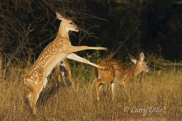 White-tailed_Deer_Larry_Ditto_MG_9211