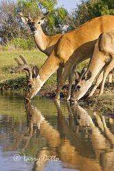White-tailed Deer (Odocoileus virginianus) bucks drinking in summer, s. Texas