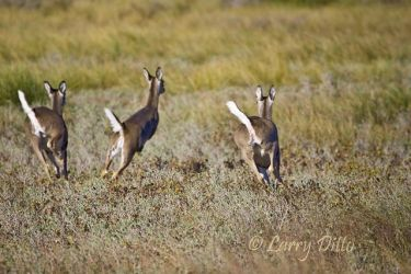White-tailed_Deer_Larry_Ditto_X0Z4271