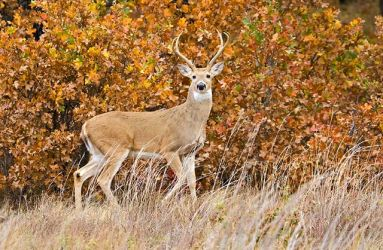 White-tailed_Deer_Larry_Ditto_X0Z8589