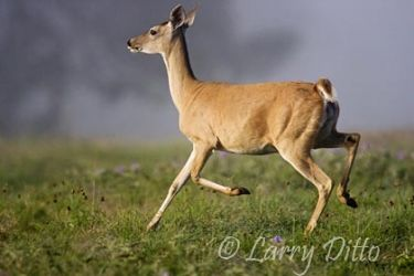 White-tailed Deer (Odocoileus virginianus) doe, running, Texas