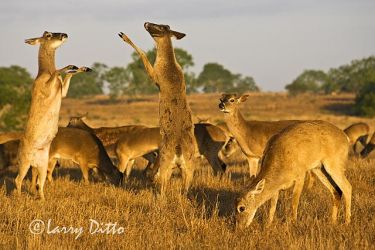 White-tailed_Deer_Larry_Ditto_X0Z9789