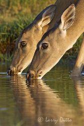 White-tailed Deer (Odocoileus virginianus), females, drinking, s. Texas, summer