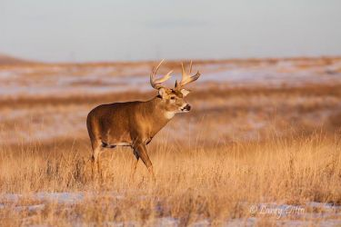 White-tailed_Deer_MG_5447