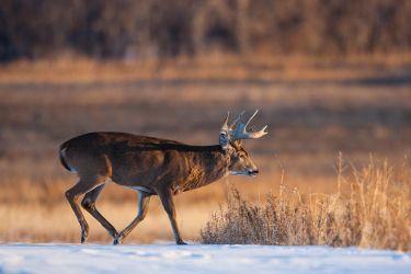 White-tailed_Deer_MG_5483