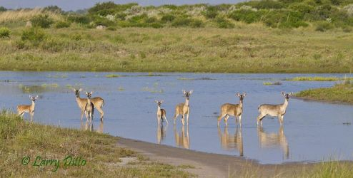 White-tailed Deer crossing the Inlet_Larry Ditto