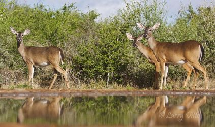 White-tailed Deer (Odocoileus virginianus) at s. Texas ranch pond