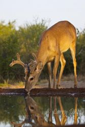 White-tailed_Deer__Larry_Ditto_MG_1507