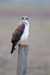 White-tailed_HawkWhite-tailed_Hawk_Larry_Ditto_51U2502