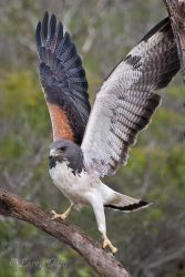 White-tailed_Hawk_Larry_Ditto_70K4264