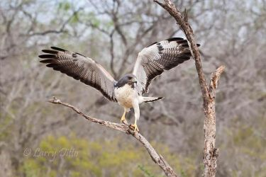 White-tailed_Hawk_Larry_Ditto_70K4304