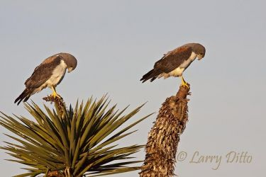 White-tailed Hawk pair on yucca, s. Texas