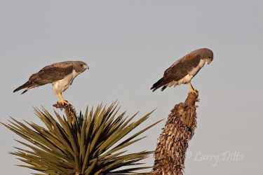 White-tailed_Hawk_Larry_Ditto_MG_0482