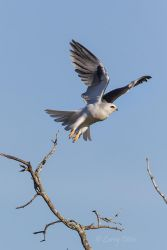 White-tailed_Kite_79A4683
