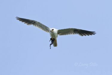 White-tailed_Kite_Larry_Ditto_MG_7195