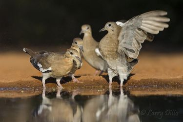 White-winged_Dove_79A5574