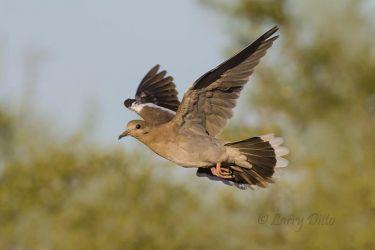 White-winged_Dove_79A5630