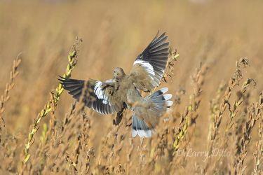White-winged_Dove_79A6263