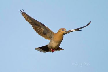 White-winged_Dove_Landing_Larry_Ditto_MG_7933
