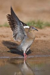 White-winged Dove flushing from pond in s. Texas