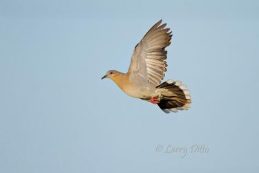 White-winged_Dove_Larry_Ditto_MG_7505