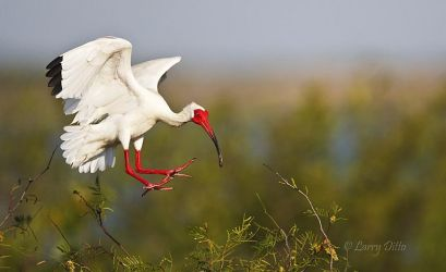 White ibis landing