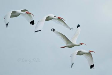 White_Ibis_Larry_Ditto_MG_9684