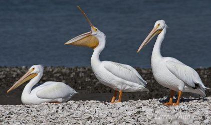 White Pelican yawning