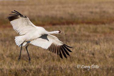 Whooping Crane landing