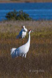 Whooping Crane pair in salt marsh