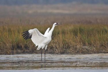 Whooping_Crane_Larry_Ditto_70K3633~0