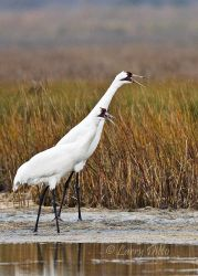 Whooping_Crane_Larry_Ditto_70K3655
