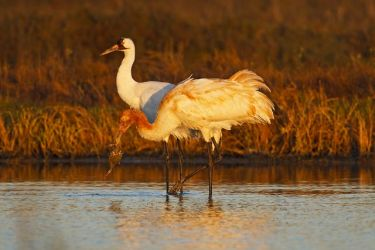 Whooping_Crane_Larry_Ditto_70K8832