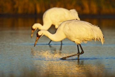 Whooping_Crane_Larry_Ditto_70K8906