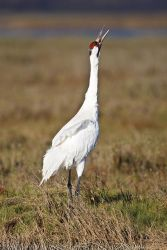 Whooping_Crane_Larry_Ditto_70K9771