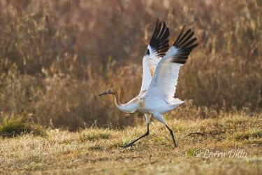 Whooping_Crane_Larry_Ditto_MG_0460