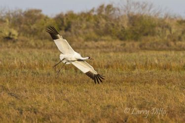 Whooping_Crane_Larry_Ditto_MG_0541