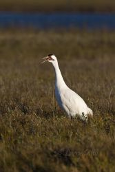 Whooping_Crane_Larry_Ditto_MG_0583