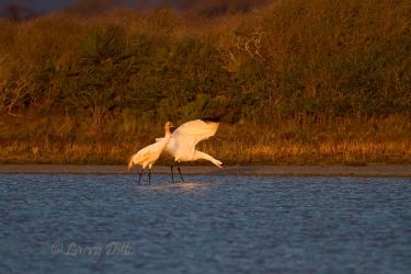 Whooping Cranes, adult and young