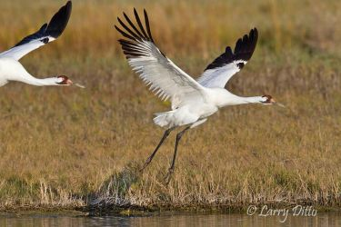 Whooping Cranes flying from marsh at Aransas NWR, Texas