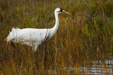 Whooping_Crane_Larry_Ditto_MG_9784