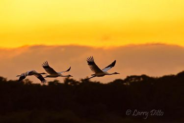 Whooping_Crane_Larry_Ditto_MG_9900