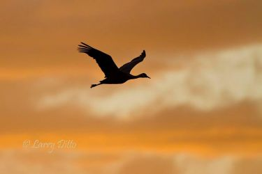 Whooping_Crane_Larry_Ditto_MG_9939