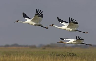 Whooping Crane, family group in flight on Texas coast